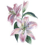 Pink and white watercolor lily on a white background