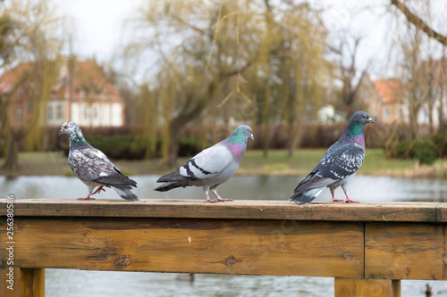 Pigeons in the park at spring, Poland