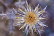 Detalle flor seca de carlina racemosa. Cardo cuco. Cardo de la uva.