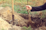 Growing fruit trees in the prepared hole in the spring .work of the gardener
