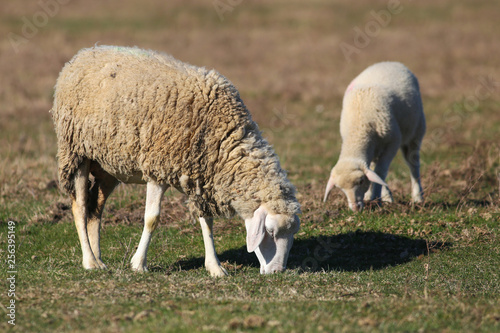 Sheep and lamb graze on pasture