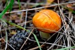 Suillus is a genus of basidiomycete fungi in the family Suillaceae and order Boletales