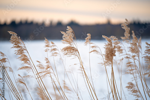 Reed in the wind in the winter landscape of the haiku. - 256412720