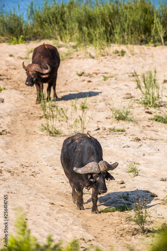African buffalo walking on riverbank in Kruger National park, South Africa ; Specie Syncerus caffer family of Bovidae