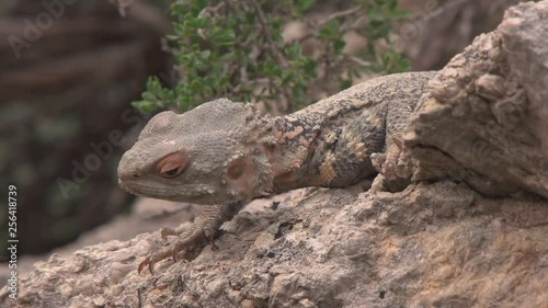 Central Bearded Dragon Pogona vitticeps. (close-up)