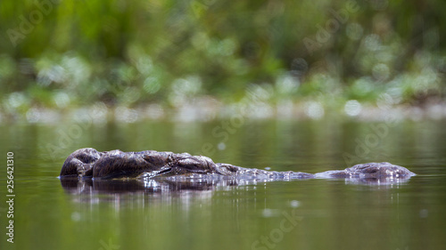 Nile crocodile head in surface level in Kruger National park, South Africa