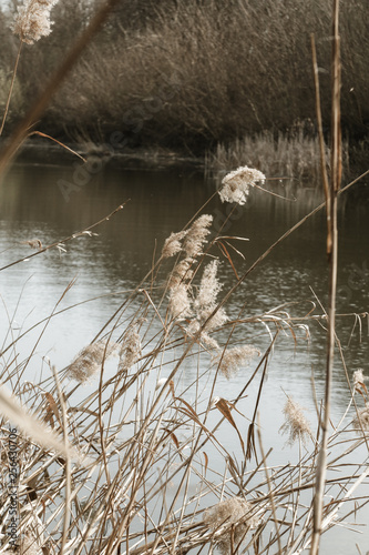Foto Murales Dry reed on the river in the sunshine, retro style
