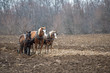 Amish Horses Near the End of their Plowing