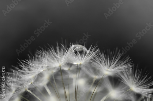 Dandelion and a drop of water - 256439753