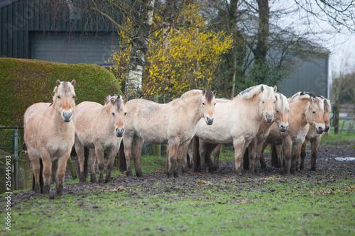 fjord horses in meadow near farmhouse and barn