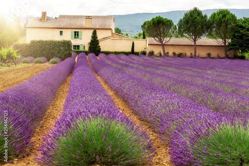 Lavendelfeld - 256462125