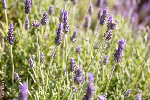 Lavender flowers, Closeup view of a lavender field blooming in spring - 256481503