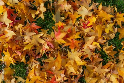Fallen maple leaves