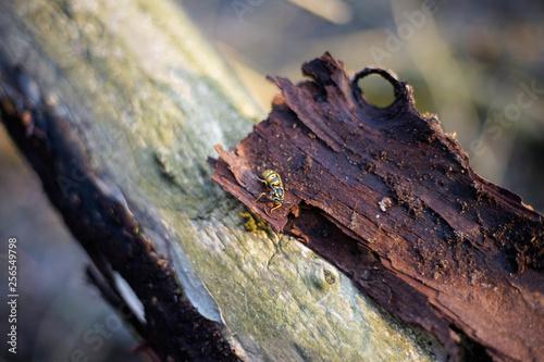 Wespe, Winterschlaf, Königin, Insekt, Makro, Gestreift, schlafen, Unterholz, Braunholz © mkstudio001