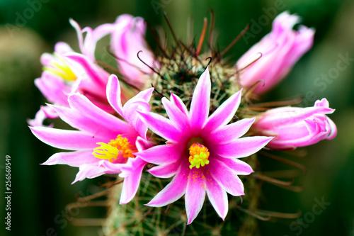 Pink flower of Mammilaria spp. on cactus garden background. - 256569549