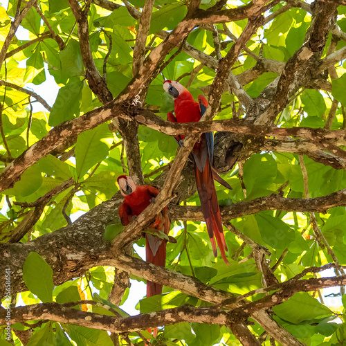 scarlet macaw, Ara macao, two beautiful parrots perched on a tree in Costa Rica