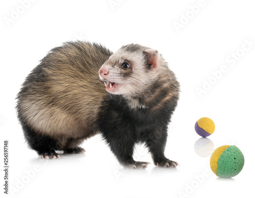 brown ferret in studio