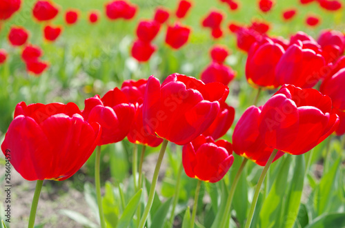 fototapeta na ścianę Red tulips in a flower bed. Sunlight