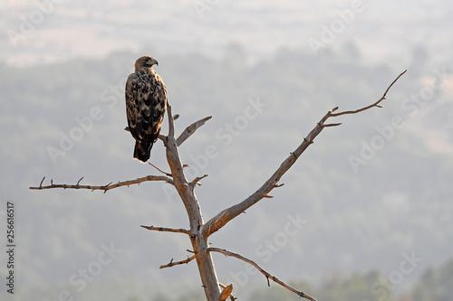 Aguila imperial en los campos de España.Avila