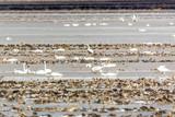 Tundra Swans Gathering