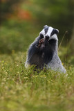 European badger standing eating in heather