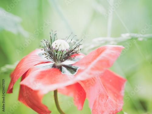 closeup of red poppy - 256637939