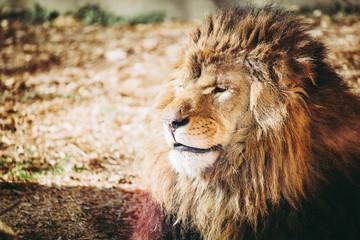 Portrait de lion