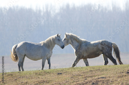 Two white horses on the meadow