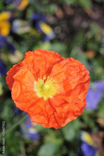 Anémone orange - 256671922
