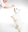A West highland white terrier Dog Isolated on White Background in studio with senior give food