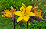 Very beautiful yellow lily on a green background of juicy grass