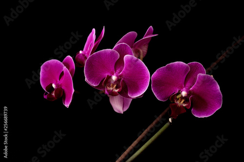 orchid - 256689739