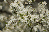 closeup of apple tree flowers at spring