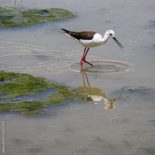 Bird in wildlife, fuente de piedra
