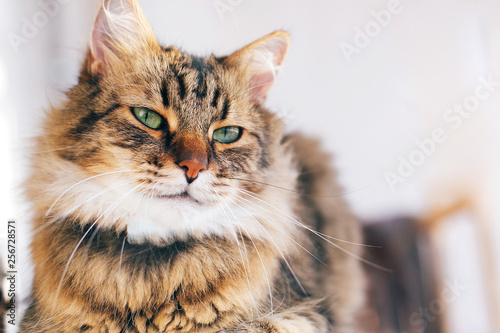 Cute cat looking angry with green eyes sitting on table. Maine coon with funny emotions relaxing indoors. Adorable furry friend, adoption concept - 256728571