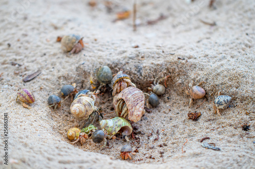 The group of colorful hermit crabs with shell on the sandy beach in the sunny day.