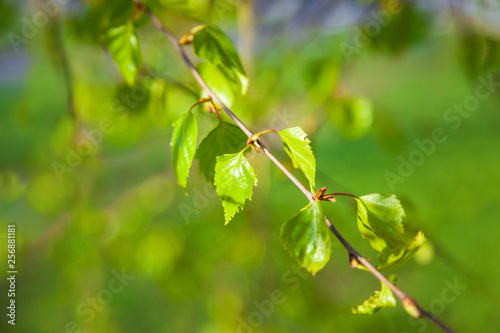 Green young leaves on birch tree branches. Back lighting close-up morning scene. Colorful background of spring birch tree leaves. - 256881181