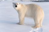Polar Bear on sea ice looking at camera, nice golden light