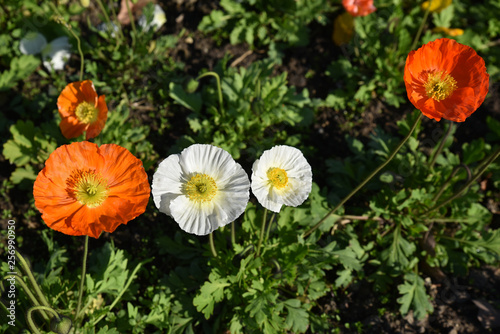 Pavots orange et blanc au jardin au printemps - 256990950