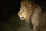 Large dominant male lion at night with a spotlight