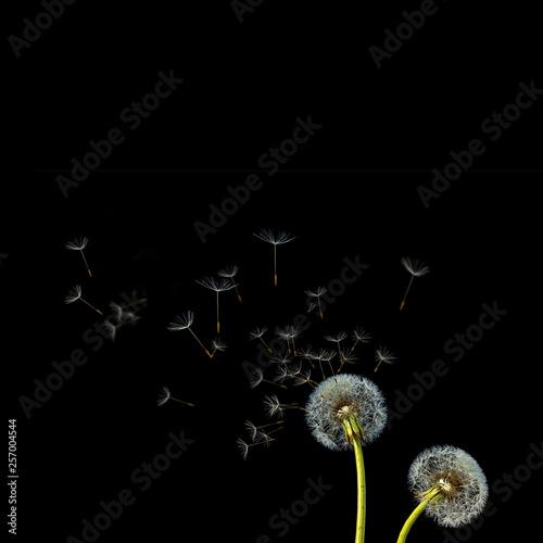 Dandelion. Close up of dandelion spores blowing away,blue sky background - 257004544