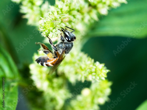 working bee looking some food to cook honey on flower