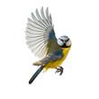 Leinwanddruck Bild - Blaumeise Singvogel im Flug, freigestellt