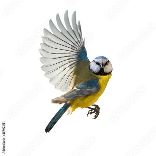 Leinwanddruck Bild Blaumeise Singvogel im Flug, freigestellt