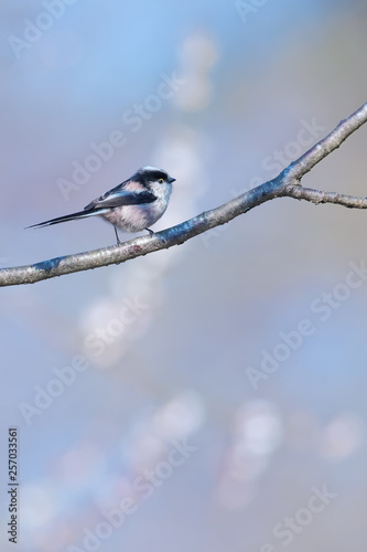 Long tailed tit perching on branch