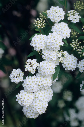 A Flowers of Koten - 小手毬の花