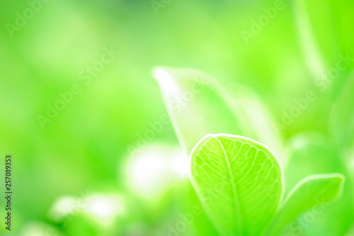 Fresh green leaf and overexposure of sunlight on green nature blurred background at public park in morning, greenery season background, close-up and selective focus by macro lens - 257089353