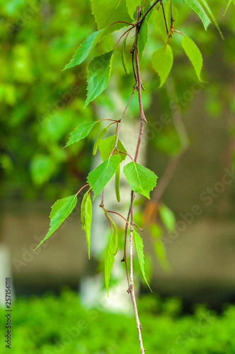 twig with young green birch leaves and still green seeds close-up on a blurred background - 257156118