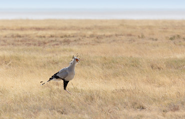 Secretary bird in Etosha park