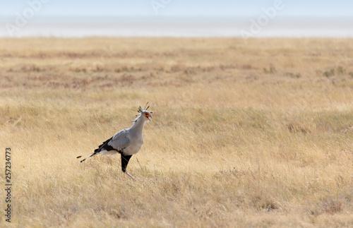 Secretary bird in Etosha park © mauriziobiso
